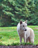 стоящий волк Стоковое фото RF