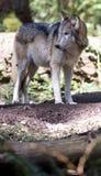 стоящий волк Стоковая Фотография