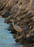 Стоящий высокорослый Egret стоковая фотография rf