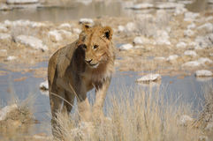 Стоящий лев Стоковые Фотографии RF