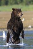 Стоящий медведь Стоковая Фотография RF