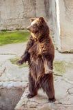 Стоящий медведь Стоковые Фотографии RF