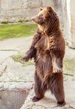 Стоящий медведь Стоковые Изображения RF