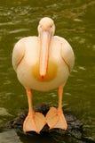 Стоящий пеликан на камне Стоковое Изображение RF