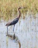 Стоящий рыжеватый Egret стоковые изображения