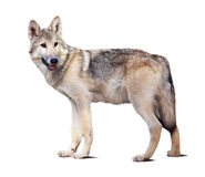 Стоящий серый волк Стоковое Изображение