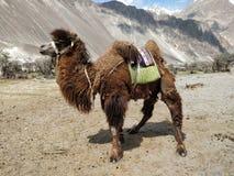 Стоя дикий верблюд в долине Nubra, Leh Ladakh, Индии стоковые изображения rf