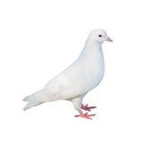 Стоя изолированный белый голубь Стоковое фото RF