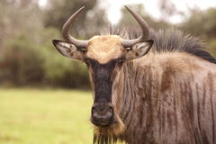 стоя wildebeast вытаращиться Стоковая Фотография RF