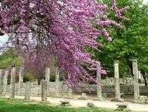 Столбцы и руины среди красивых розовых цветков на археологических раскопках Олимпии Стоковые Изображения RF