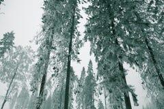 Столети-старый спрус Стоковая Фотография RF