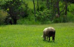 страна пася овец выгона Стоковые Фото