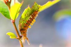 Странная волосатая гусеница стоковые фотографии rf
