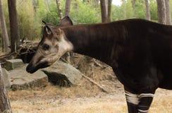 Странное животное окапи от Африки Стоковое Фото