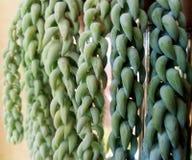 Странное зеленое растение висит вниз от полки с группами Стоковые Фотографии RF