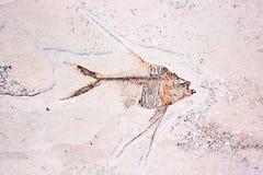 Странное ископаемый рыб Стоковые Фото