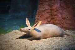 Странное редкое животное Стоковое фото RF