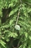 Странный зеленый плодоовощ Стоковые Изображения RF