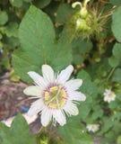 Страсть для цветения белых цветков стоковая фотография rf
