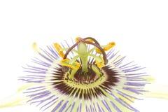 страсть цветка крупного плана Стоковые Изображения