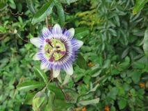 страсть цветка одиночная Стоковая Фотография