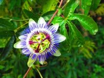страсть цветка одиночная Стоковые Фотографии RF