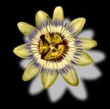 страсть цветка Стоковая Фотография RF