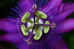 страсть цветка Стоковые Фото