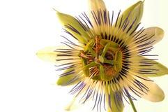 страсть 2 цветков стоковая фотография