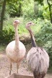 2 страуса Стоковые Изображения