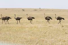 страусы в марше Стоковая Фотография