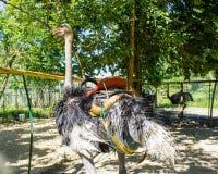 Страусы в paddock на страусе обрабатывают землю Стоковое Фото