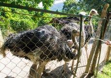 Страусы в paddock на страусе обрабатывают землю Стоковые Фото