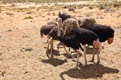 страусы Стоковые Изображения RF