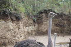 страусы Стоковое Изображение