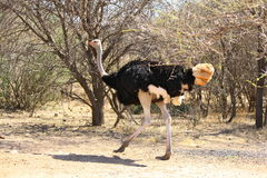Страус бежать на дороге грунтовой дороги в Ботсване Стоковые Изображения RF