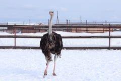 Страус в зоопарке Сибире Стоковое Изображение