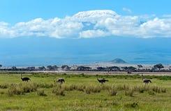 Страус в саванне в Кении Стоковые Фото