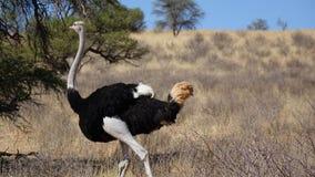 Страус в саванне Намибии стоковая фотография rf