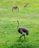 Страус и жирафы Стоковое Фото