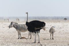 Страус и зебры стоковые фотографии rf
