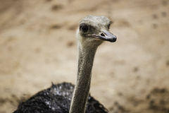 Страус или общий страус любой один или два вид l Стоковое Фото