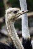 Страус или общий страус любой один или два вид l Стоковые Изображения