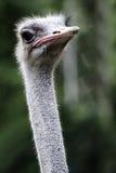 Страус или общий страус любой один или два вид l Стоковое Изображение RF