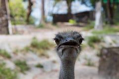 Страус или общий страус Стоковые Изображения RF