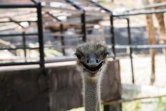 Страус или общий страус Стоковая Фотография RF