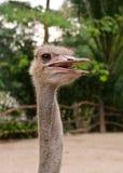 Страус или общий страус (camelus Struthio) Стоковое Изображение