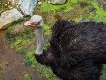 Страус идя в болото на зоопарке Стоковое Фото