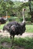 Страус идя в зоопарк Стоковые Фото
