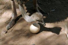 страус мамы Стоковое Фото